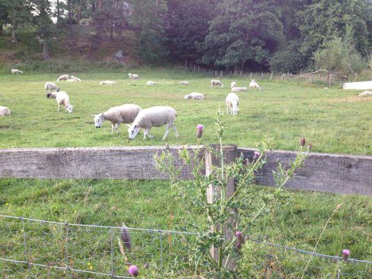 Dalmahoy_Sheep